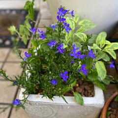 ガーデン雑貨/LIMIA/緑のある暮らし/花のある暮らし/ナチュラルガーデン/バラ好き/... 梅雨の中休み いい天気です🌞 今日も暑く…(5枚目)