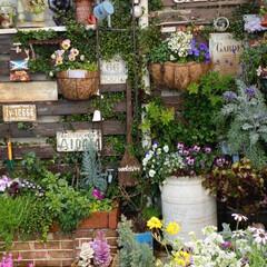 ナチュラルガーデン/寄せ植え/玄関前ガーデン/ガーデニング/花のある暮らし/ガーデン雑貨/... 玄関前ガーデンです。 暖かい気温が続いて…(1枚目)