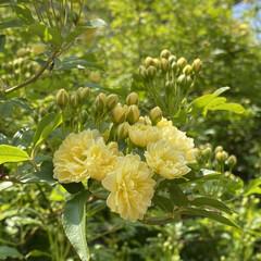 癒やしの場所/黄色いモッコウバラ/家裏のガーデン/デッキガーデン/モッコウバラ/ウッドデッキ/... 家裏のデッキガーデンのモッコウバラが咲い…(2枚目)