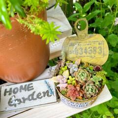 多肉植物寄せ植え/ナチュラルガーデン/植物のある暮らし/花のある暮らし/癒やしの場所/玄関前ガーデン/... 玄関前アーチのモッコウバラ満開です。 多…(3枚目)