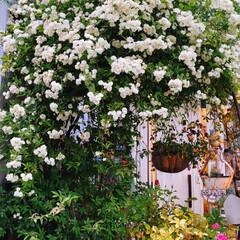 多肉植物寄せ植え/ナチュラルガーデン/植物のある暮らし/花のある暮らし/癒やしの場所/玄関前ガーデン/... 玄関前アーチのモッコウバラ満開です。 多…(1枚目)
