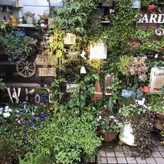 緑のある暮らし/花のある暮らし/ハーブ好き🌿/garden:time/ガーデン/mygarden/... 夕陽が照らしてる時にパチリ 玄関前ガーデ…