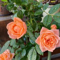 ガーデン雑貨/LIMIA/緑のある暮らし/花のある暮らし/ナチュラルガーデン/バラ好き/... 梅雨の中休み いい天気です🌞 今日も暑く…(3枚目)