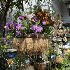 ナチュラルガーデン/寄せ植え/玄関前ガーデン/ガーデニング/花のある暮らし/ガーデン雑貨/... 玄関前ガーデンです。 暖かい気温が続いて…(2枚目)