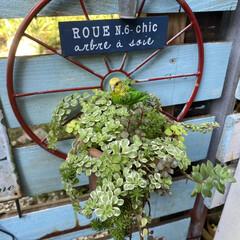 デッキガーデン/玄関前/植物/植物のある暮らし/花のある暮らし/ガーデン雑貨/... 朝晩 肌寒くなってきました。 秋ですね。…(2枚目)