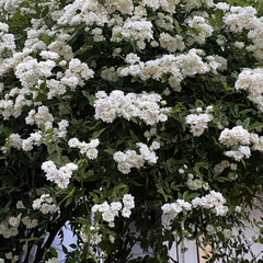 多肉植物寄せ植え/ナチュラルガーデン/植物のある暮らし/花のある暮らし/癒やしの場所/玄関前ガーデン/... 玄関前アーチのモッコウバラ満開です。 多…(2枚目)