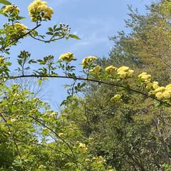癒やしの場所/黄色いモッコウバラ/家裏のガーデン/デッキガーデン/モッコウバラ/ウッドデッキ/... 家裏のデッキガーデンのモッコウバラが咲い…(3枚目)