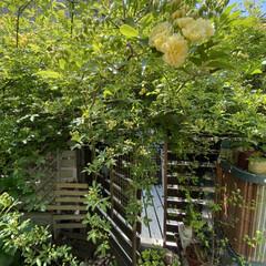 癒やしの場所/黄色いモッコウバラ/家裏のガーデン/デッキガーデン/モッコウバラ/ウッドデッキ/... 家裏のデッキガーデンのモッコウバラが咲い…(4枚目)