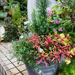デッキガーデン/玄関前/植物/植物のある暮らし/花のある暮らし/ガーデン雑貨/... 朝晩 肌寒くなってきました。 秋ですね。…(3枚目)