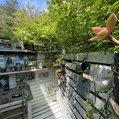 癒やしの場所/黄色いモッコウバラ/家裏のガーデン/デッキガーデン/モッコウバラ/ウッドデッキ/... 家裏のデッキガーデンのモッコウバラが咲い…(1枚目)