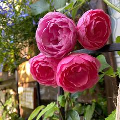 ガーデン雑貨/LIMIA/緑のある暮らし/花のある暮らし/ナチュラルガーデン/バラ好き/... 梅雨の中休み いい天気です🌞 今日も暑く…(2枚目)