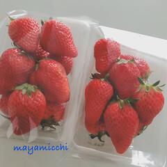 イチゴ♪ 苺がたべたぁ〜い!と、思い 知り合いの農…(1枚目)