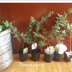 植物/植物のある暮らし/ミモザアカシア/ミモザイエロー/ミモザ/フォロー大歓迎/... 届いた〜〜🌱🌿 もうミモザに魅せられて…(2枚目)