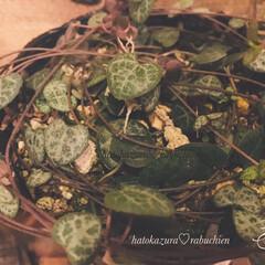 リメ缶/タニラー/植物のある暮らし/緑のある暮らし/多肉植物/ハートカズラ ハートカズラ♡ラブチェーン  園芸店で1…