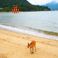 厳島神社/鹿/広島/わたしのお気に入り 波打ち際の鹿と鳥居