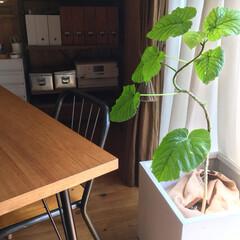 インダストリアル/男前インテリア/インテリアグリーン/観葉植物/ウンベラータ/はじめてフォト投稿/... くねくねウンベラータ。  これで…5ヶ月…(1枚目)