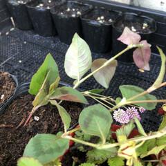 ダイソー/菜園/ヒメツルソバ/エントランス/簡単/暮らし/... 見守り、世話、水やり、植え付けした♡