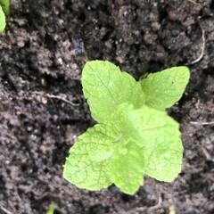 摘葉/観察/開花/収穫/植付け/発根/... 世話、見守り、発根、植付け、料理、冷凍保…(9枚目)