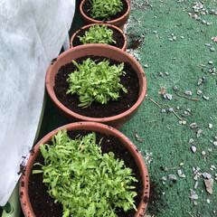 菜園/ダイソー/表庭/春菊/おうちごはん/ランチ/... 見守り、世話、水やり、土寄せ、収穫した♡