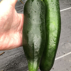 DIY/栽培記録/ズッキーニ/イチゴ/ブドウ/家庭菜園/... 世話、見守り、誘引、収穫、観察、挿し芽し…(2枚目)