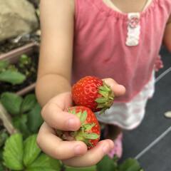 DIY/水やり/収穫/栽培記録/イチゴ/中庭/... 収穫 水やり