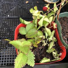 ヘビイチゴ/エントランス/菜園/園芸/ガーデニング/DIY/... 見守り、世話、水やり、植え付けした♡