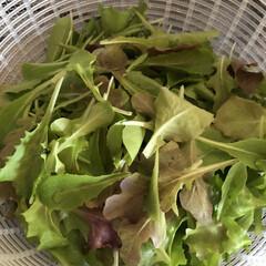 ベビーリーフ/DIY/園芸/ガーデニング/菜園/表庭/... 見守り、世話、水やり、収穫した♡