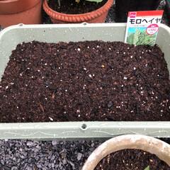 モロヘイヤ/表庭/菜園/ガーデニング/園芸/DIY/... 見守り、世話、水やり、種まきした♡