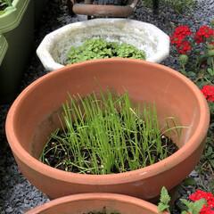 小葉ニラ/園芸/DIY/菜園/ガーデニング/表庭/... 見守り、世話、観察した♡