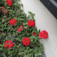 バーベナ/グランドカバー/菜園/園芸/DIY/ガーデニング/... 見守り、世話、開花、水やりした♡