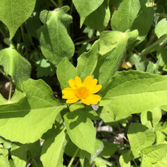 ダイソー/誘引/摘葉/開花/世話/見守り/... 見守り、世話、開花、摘葉、誘引した♡