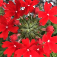 多肉/栽培記録/誘引/吸水/発根/開花/... 見守り、世話、開花、発根、吸水、誘引した♡(6枚目)