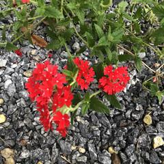 ダイソー/摘葉/誘引/挿し芽/開花/世話/... 見守り、世話、開花、挿し芽、誘引、摘葉し…