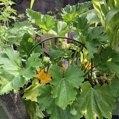 中庭/土寄せ/人工受粉/世話/見守り/ズッキーニ/... 見守り、世話、人工受粉、土寄せ、開花した♡