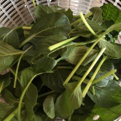 小松菜/DIY/園芸/ガーデニング/菜園/表庭/... 見守り、世話、水やり、収穫した♡