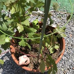 ダイソー/菜園/表庭/ブドウ/簡単/暮らし/... 世話、見守り、水やり、誘引した♡