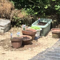 ダイソー/庭/100円ショップ/中庭/バジル/おうちごはん/... 見守り、世話、水やり、種まきした♡(1枚目)