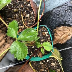 DIY/除草/水やり/世話/見守り/イチゴ/... 見守り、世話、水やり、除草した♡
