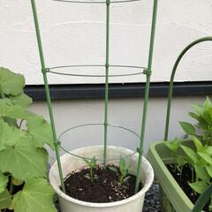 庭/DIY/表庭/トウガラシ/おうちごはん/ランチ/... 見守り、世話、支柱立てした♡