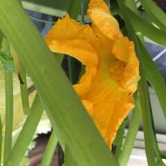 ダイソー/挿し芽/開花/人工受粉/土寄せ/観察/... 見守り、世話、土寄せ、人工受粉、開花、観…