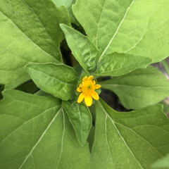 DIY/観察/開花/世話/見守り/メランポジューム/... 見守り、世話、開花、観察した♡