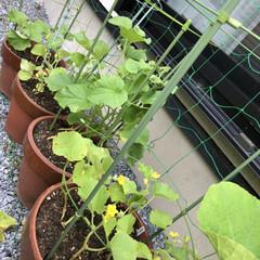DIY/摘葉/間引き/誘引/開花/世話/... 見守り、世話、開花、誘引、間引き、摘葉し…