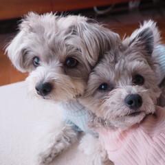 MIX犬/チワプー/LIMIAペット同好会/わんこ同好会/うちの子自慢 仲良し♡
