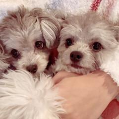 犬好き/わんこ/もこもこ/可愛い/ミックス/トイプードル/...