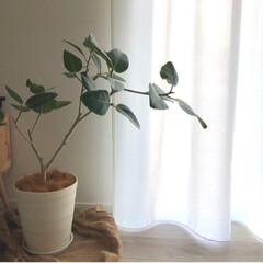 カインズホーム/カインズ/観葉植物のある暮らし/ベンガレンシス/ゴムの木/観葉植物/... ベンガレンシスの植え替え   7号サイズ…