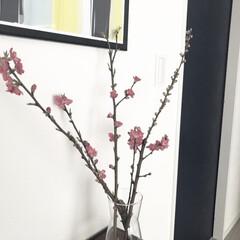 桃の花/リビング/ひな祭り/ピンク/住まい/暮らし 桃の花が少しずつ咲いています🌸    部…