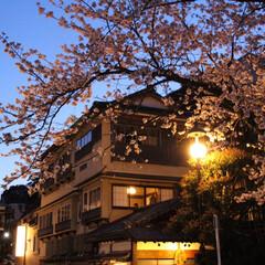 夜桜/桜/箱根/箱根湯本/おでかけワンショット 灯りに照らされた桜。夜も咲いてます。