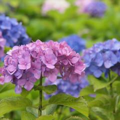 白山神社/紫陽花/はじめてフォト投稿 紫陽花が見頃の季節ですね。