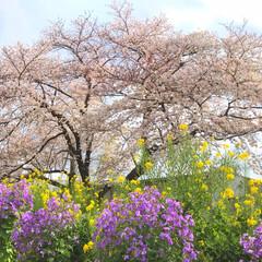 桜/ソメイヨシノ/花見/さくら/風景 お散歩コースにある🌸が見頃になってきまし…