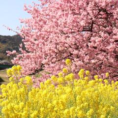 菜の花/河津桜/LIMIAペット同好会/LIMIAおでかけ部/ペット/ペット仲間募集/... 先日、南伊豆に河津桜を見に行って来ました…